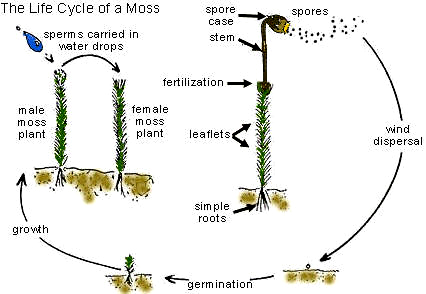 moss motors mga wiring diagram the open door web site : colonizing and populating ... moss spore diagram #5